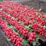 Выращивание редиса: правила выбора грунта, сроки посадки, основной уход